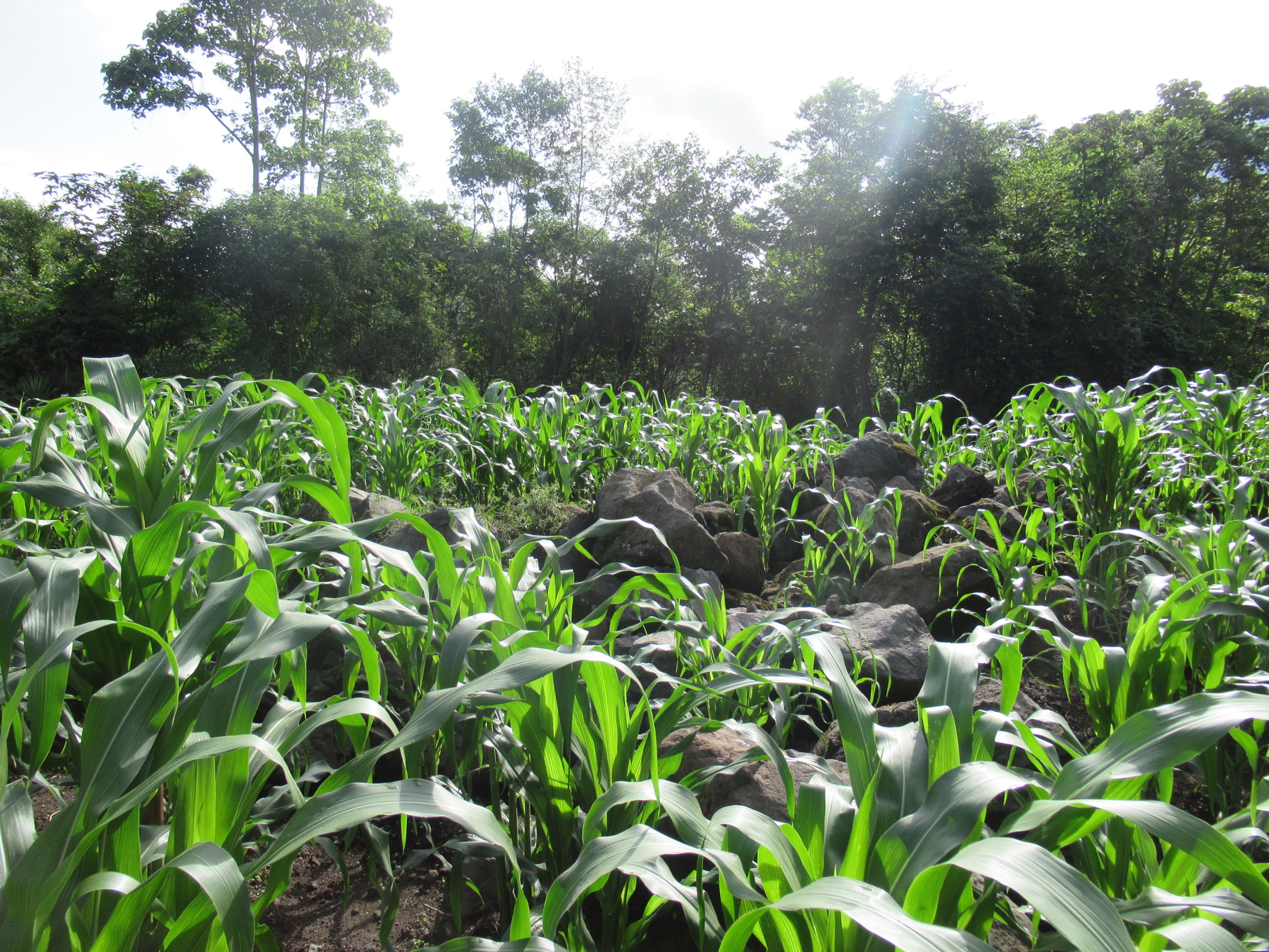 corn grows better with rocks nearby